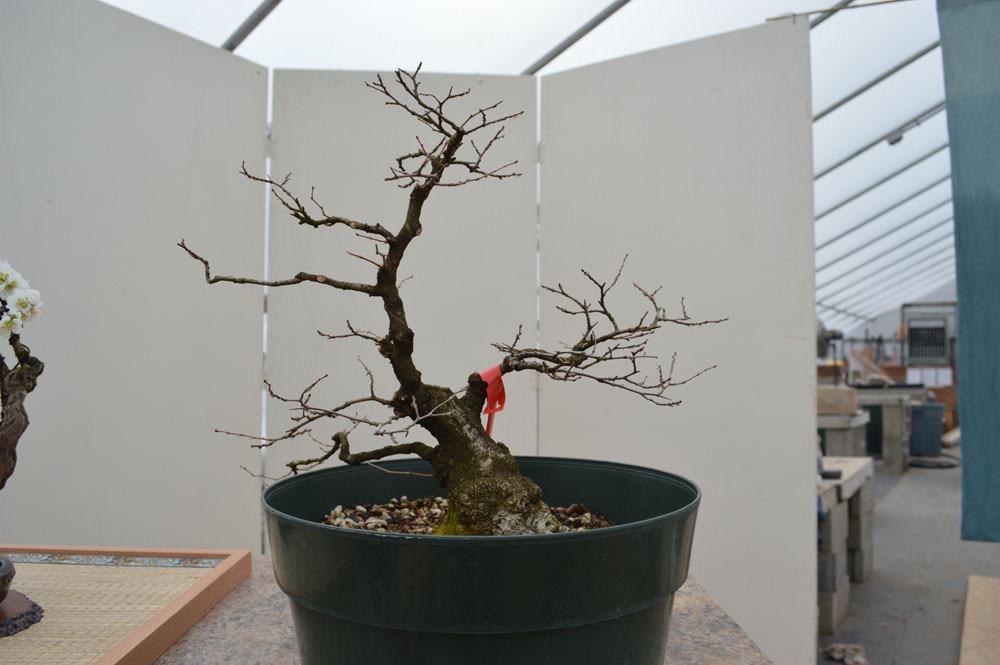 Miraculous Japanese Maple Bonsai Toms Bonsai Wiring Digital Resources Cettecompassionincorg